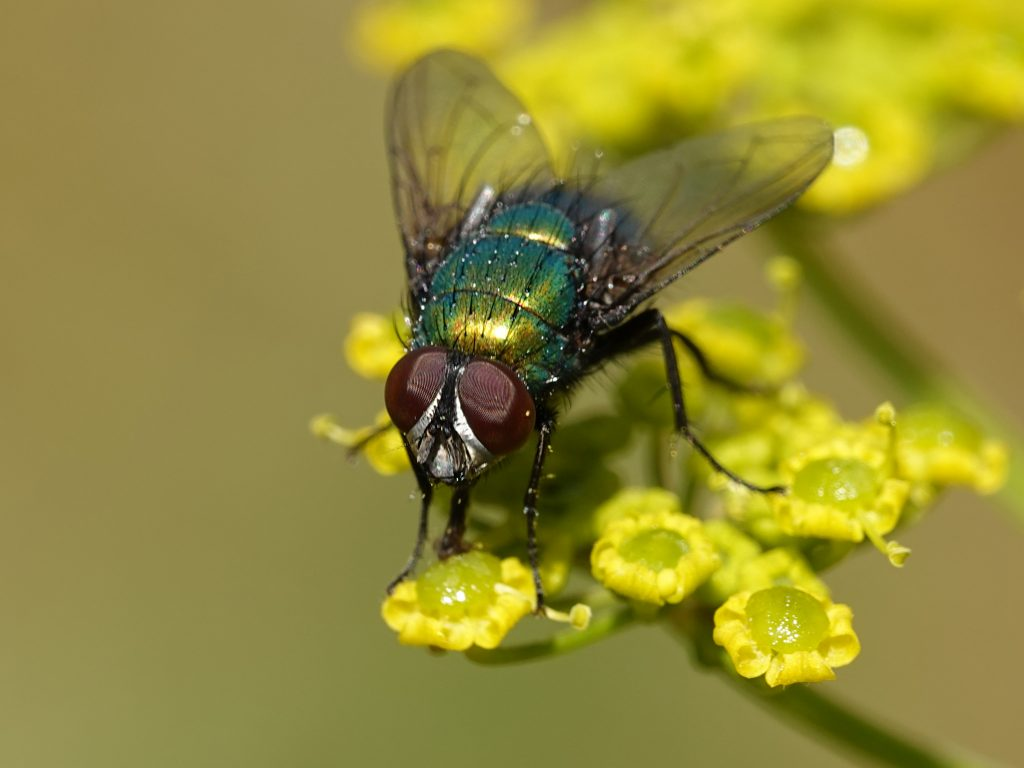 moscas; control de plagas; plagas comunes; insectos;