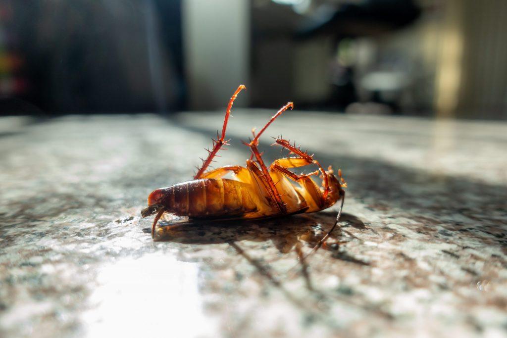 cucaracha; plagas comunes; insectos;