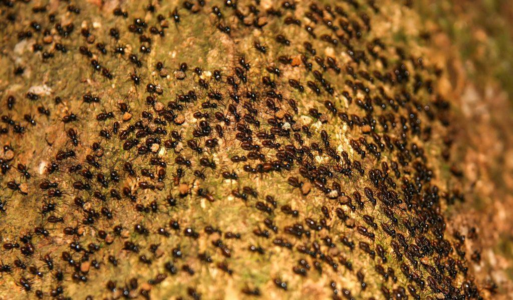 hormigas; plagas comunes; control de plagas; insectos;